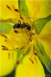 Ant in yellow field